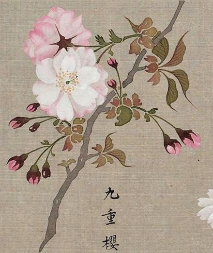 Hoa anh đào thời Edo - Họa phổ của Sakurai Sessen (1762-1804)